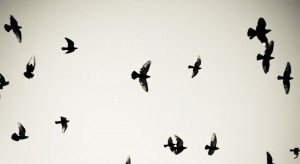 birds_pigeons_flying