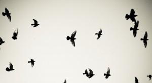 birds_pigeons_flying
