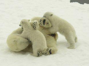 דאצ'ניוז: על ניצחון דובי הקוטב וחיות נוספות