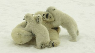 Wrestling Polar Bears (Polar Cruises)