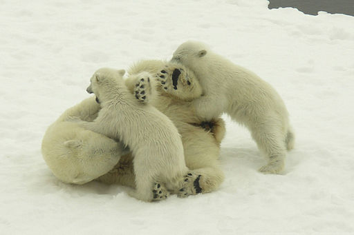 Wrestling Polar Bears (Polar Cruises)
