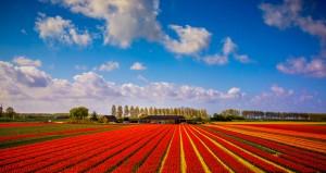 Tulip Fields (Viisoreanu Florin Gabriel, Flickr, CC License)