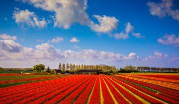 צבעוני בעיניים: 5 אתרי פרחים שווים בהולנד