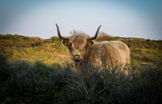 Schotse Hooglandrund in Zuid-Kennemerland (Henk van Dillen, Flickr, CC License)