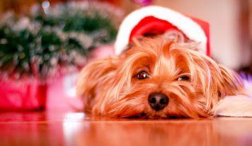 הכן כלבך לחגים ההולנדיים (וגם את החתול והציפור)