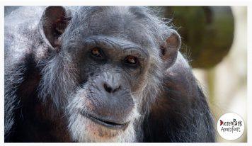 דאצ׳ניוז: שימפנזים נמלטו ונורו בגן החיות באמרספורט